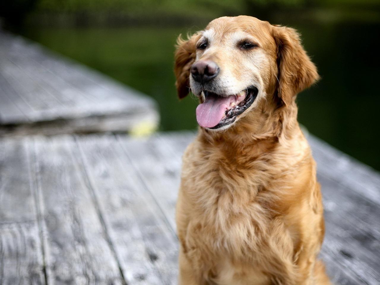 Собака, ретривер, фон