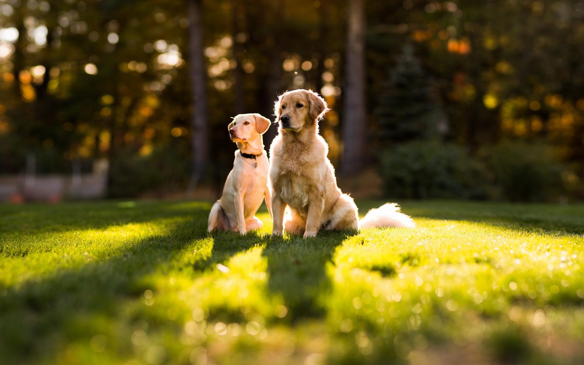 пара, dog, лето, трава, Собаки