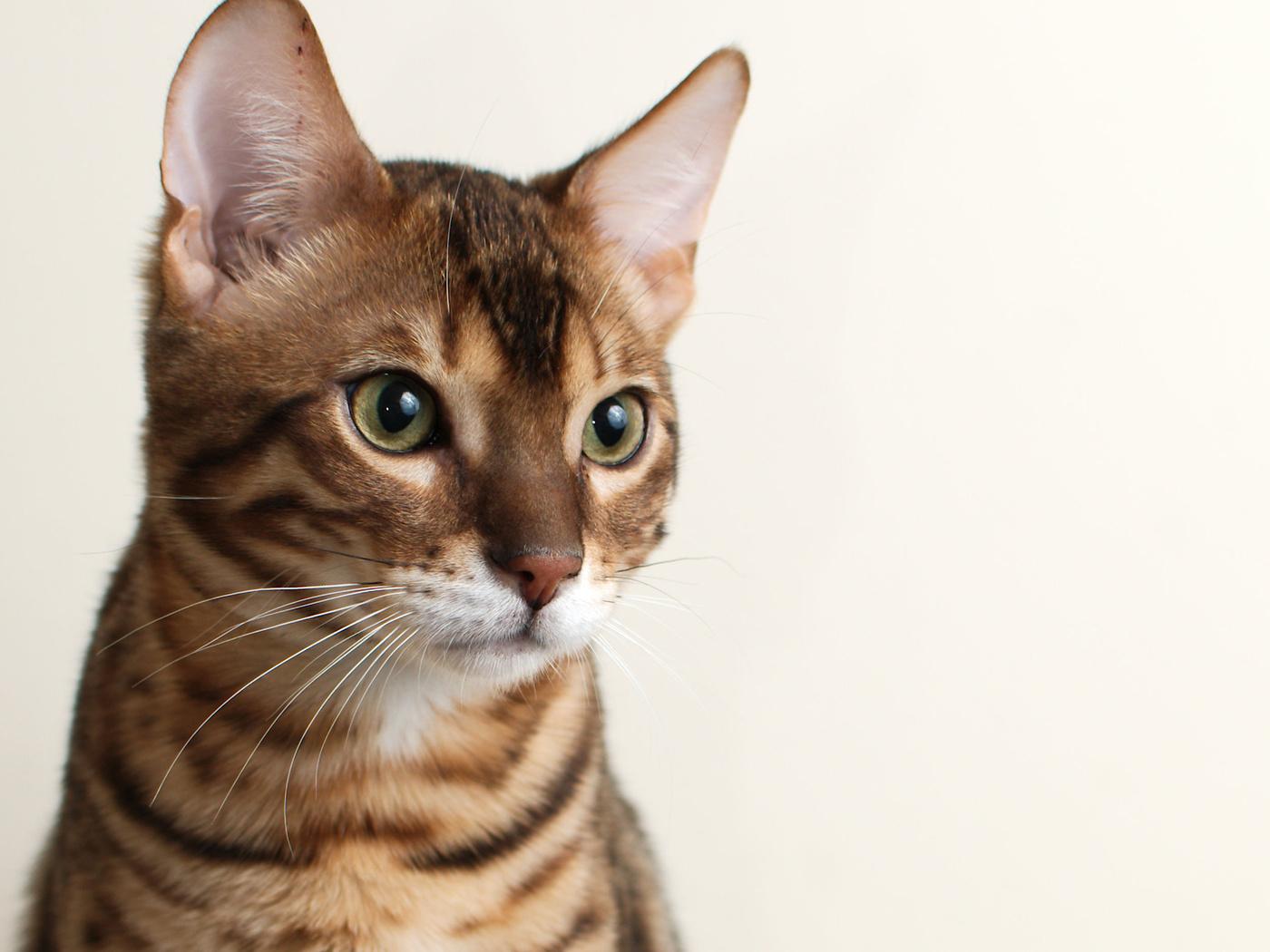 кошка, фон, кот, морда, Bengal, бенгальский