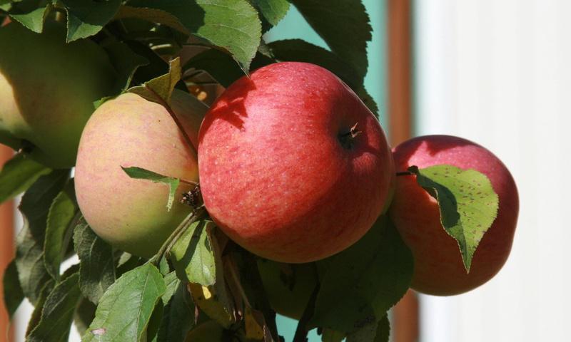 сад, яблоки, растение, природа, ветка, яблоня, Еда