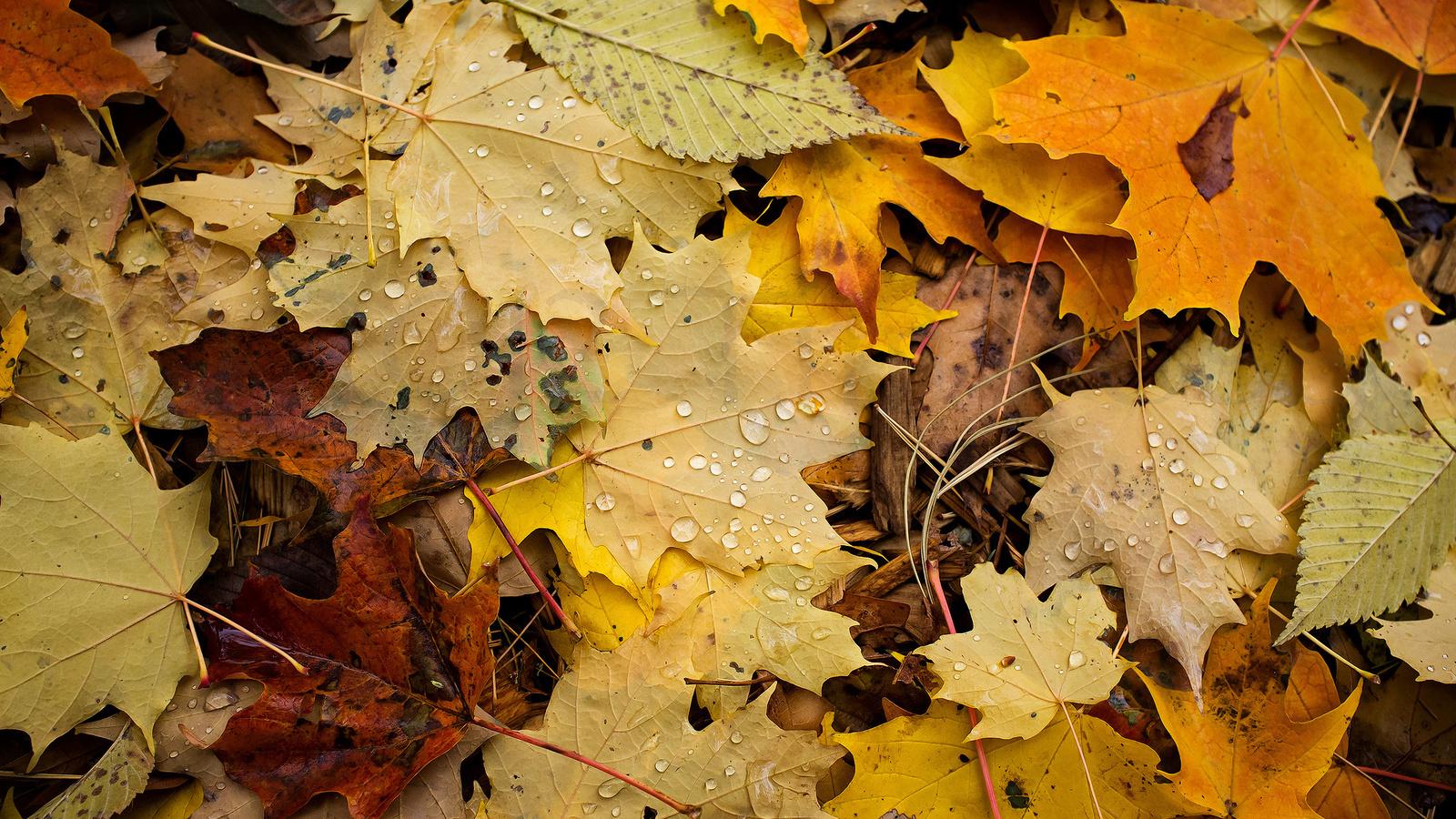 листва, Макро, капли, осень