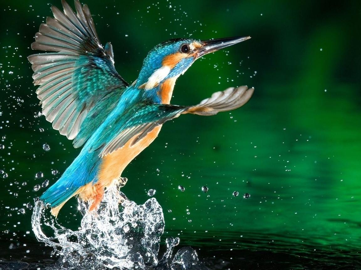 рыбалочка, птица, крылья, перья, клюв, вода, капли, брызги, красота