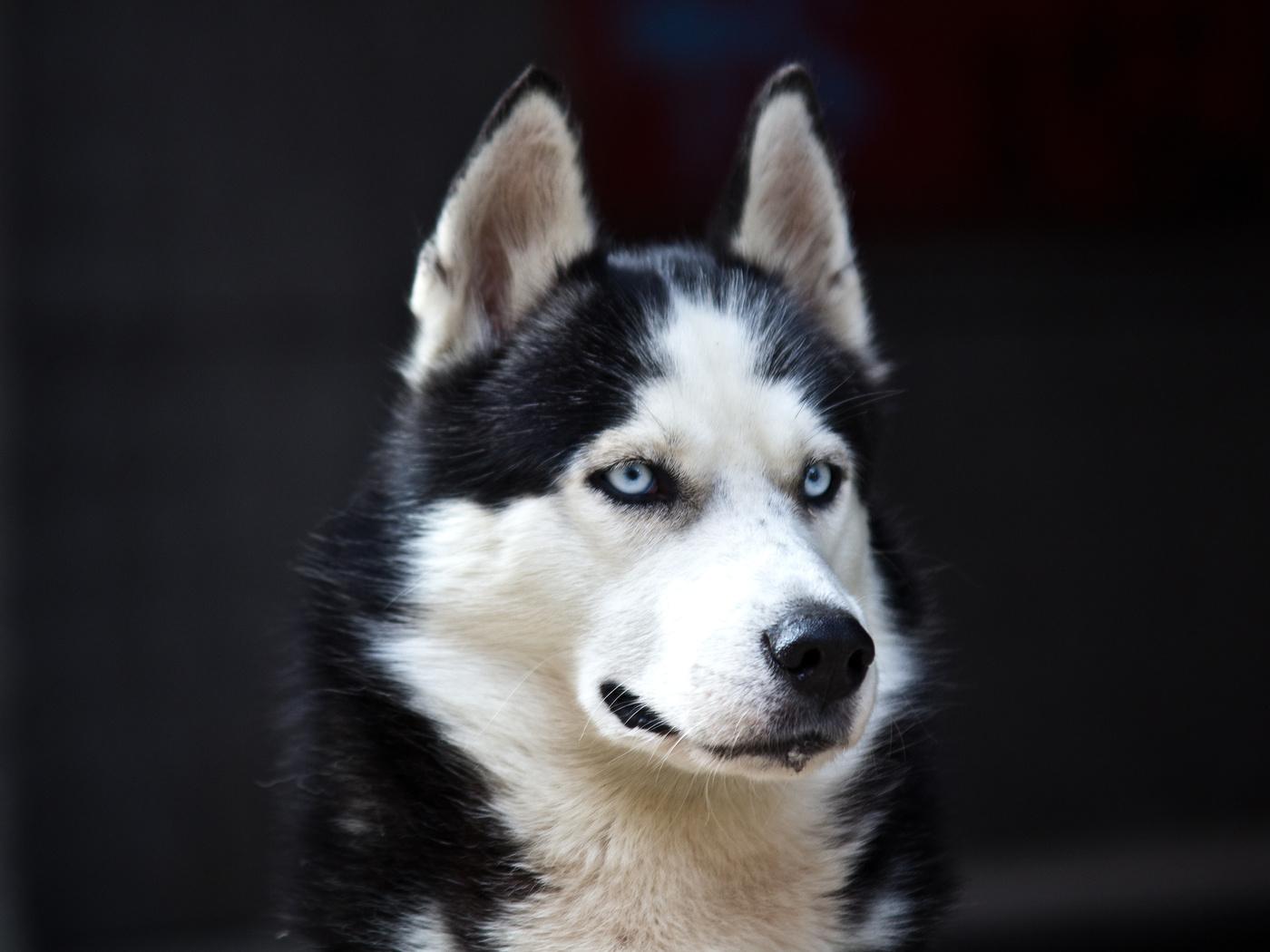 white, Husky, cute, blue eyes, black, dog, danger