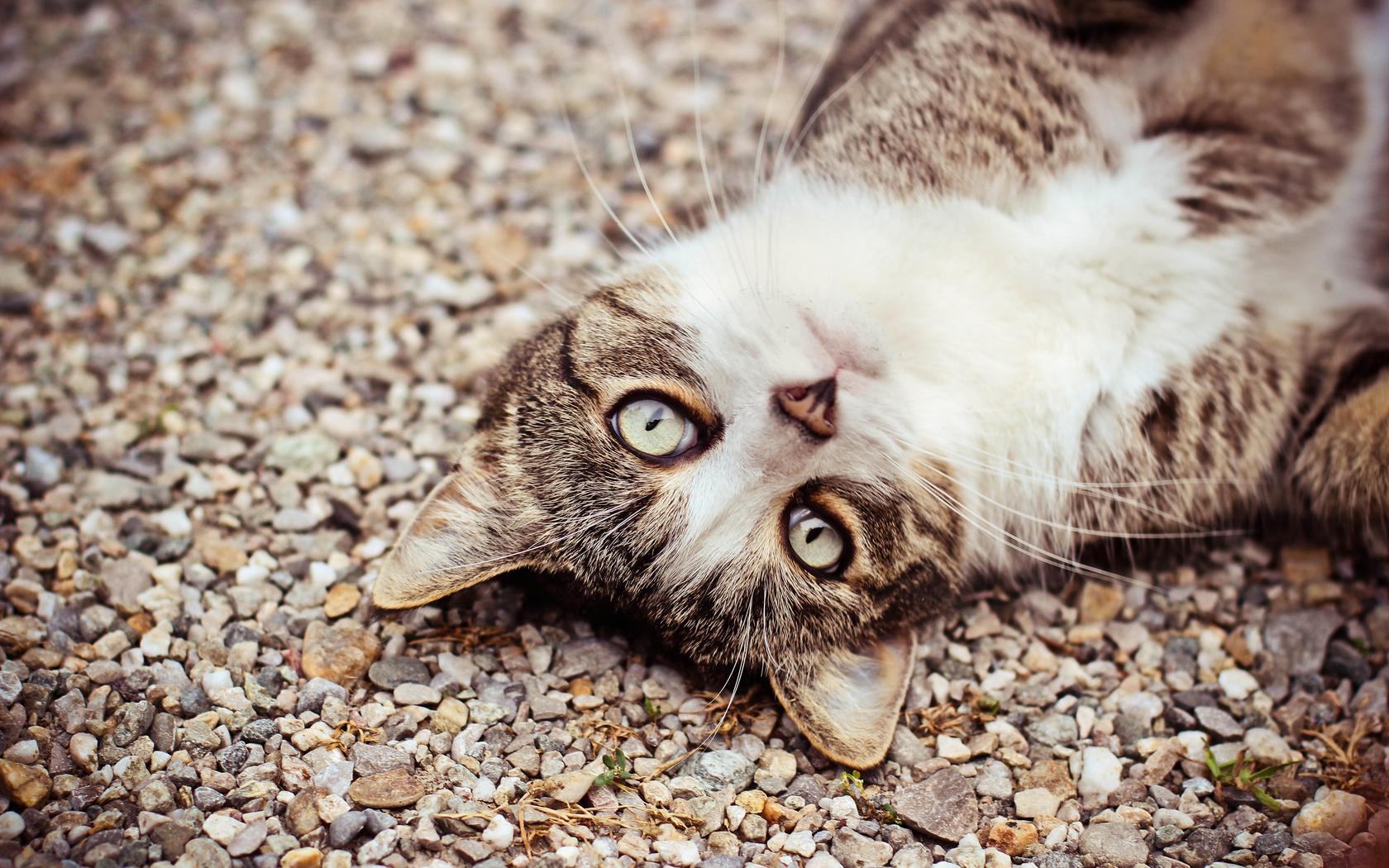 кошка, Кот, морда, камешки, глаза, взгляд