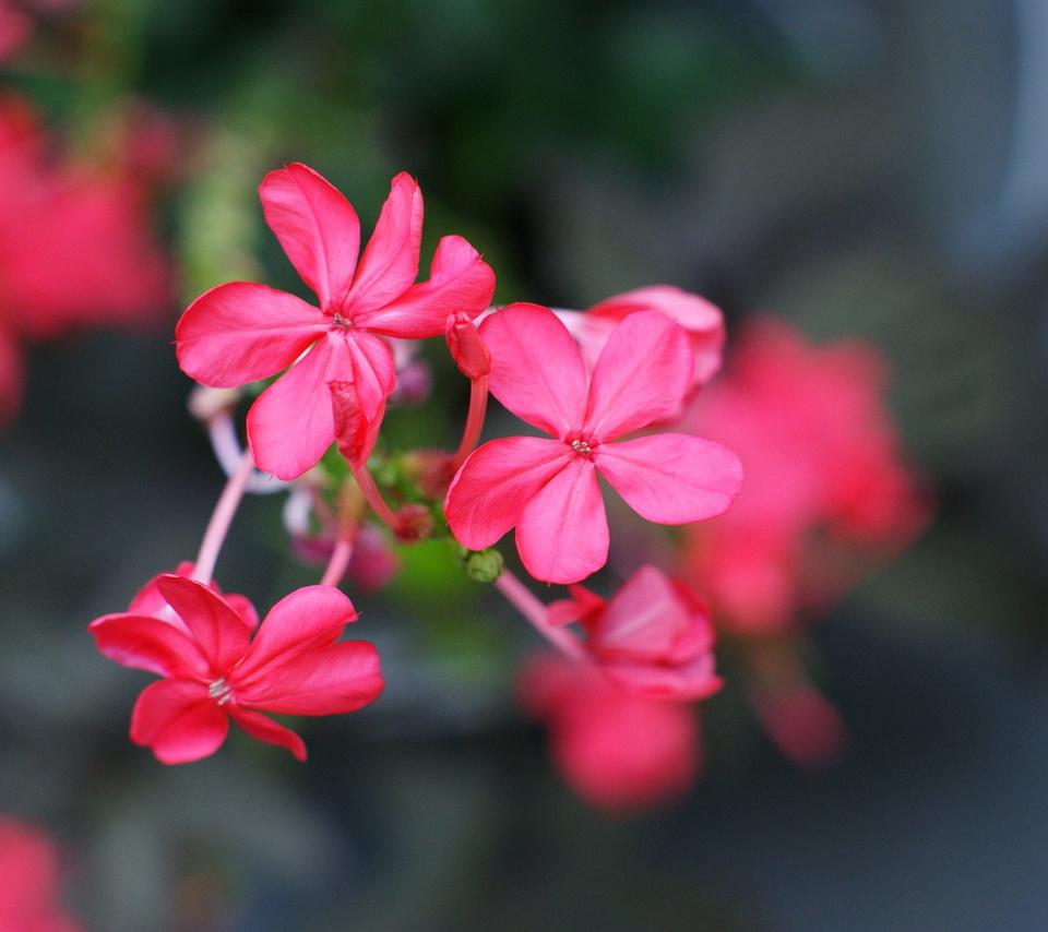 цветы, розовый, размытие, цветочки, Макро, лепестки
