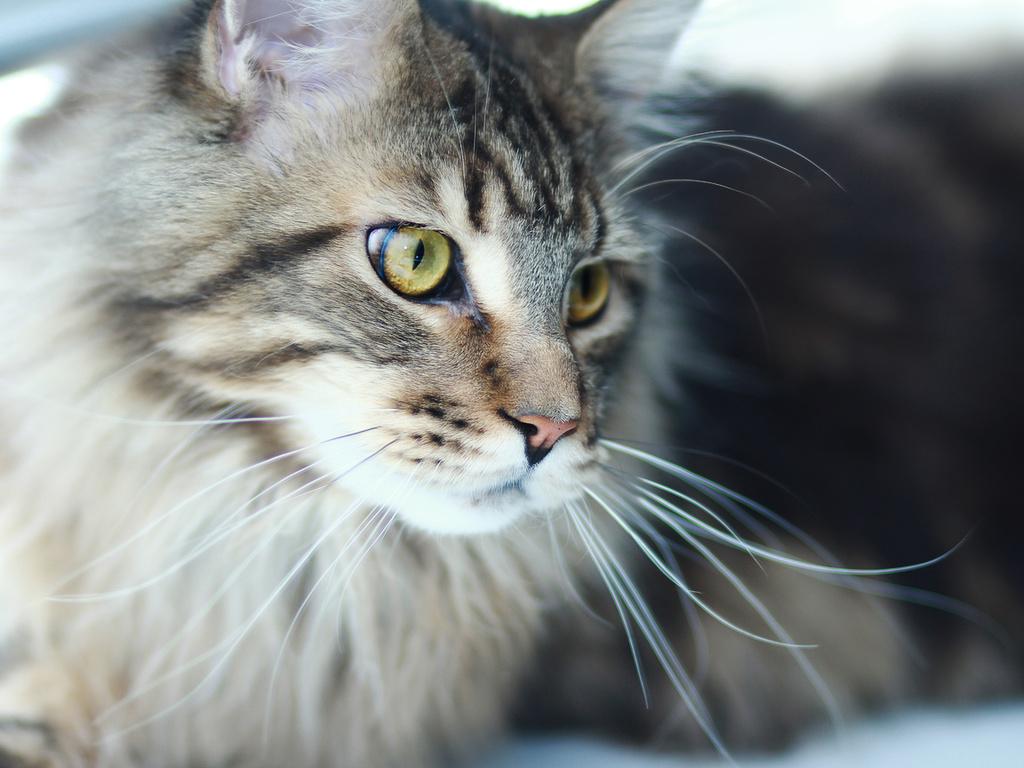 мейн-кун, Кот, котик, хищник