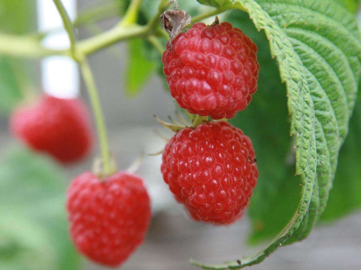 малина, растения, еда, сад, Макро, природа, ягода, ягоды