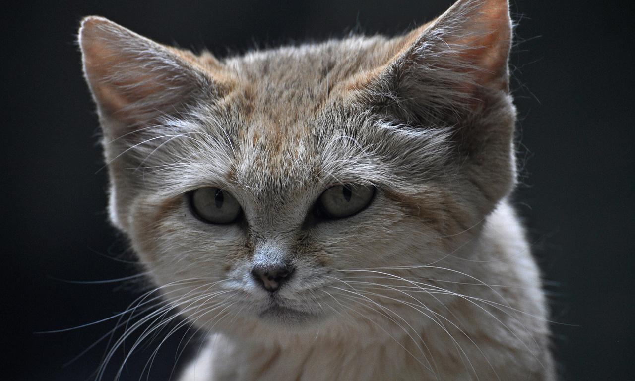 песчаный кот, взгляд, Барханная кошка, морда, sand cat