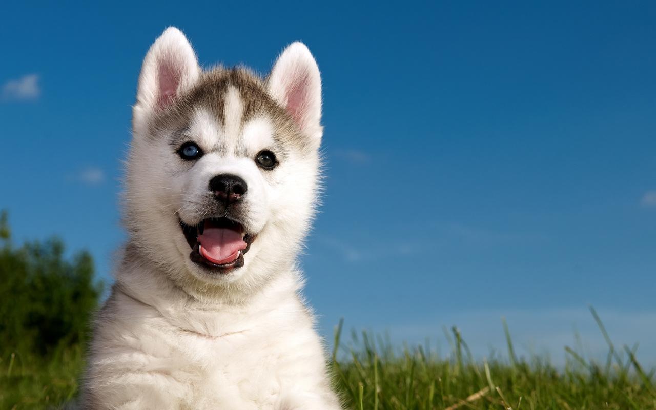 husky, трава, Хаски, щенок