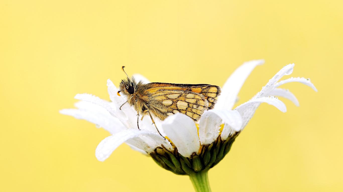роса, Цветок, фон, бабочка, ромашка, белая