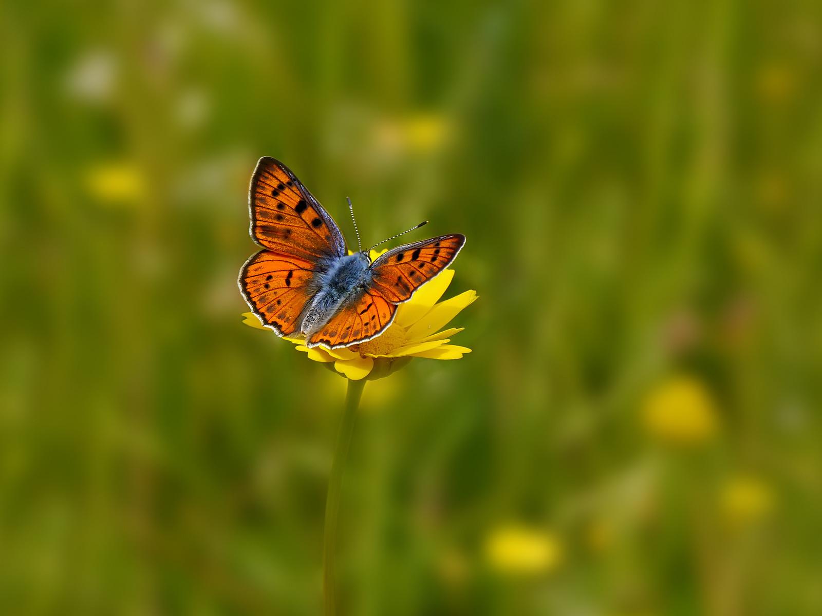 фон, бабочка, Поле, цветок, цветы, желтый