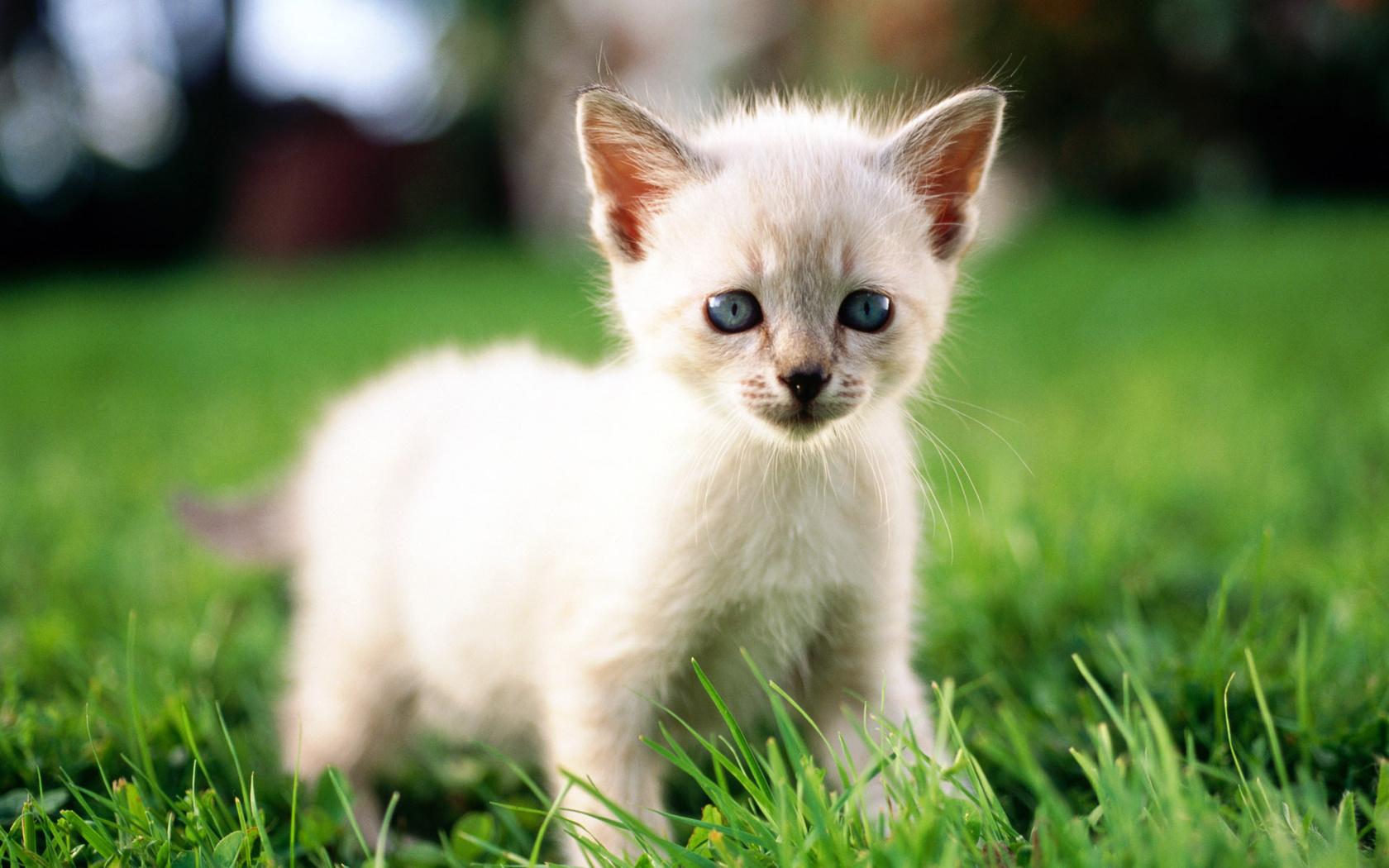 котенок, макро, Cat, трава, кошка, кот, белый