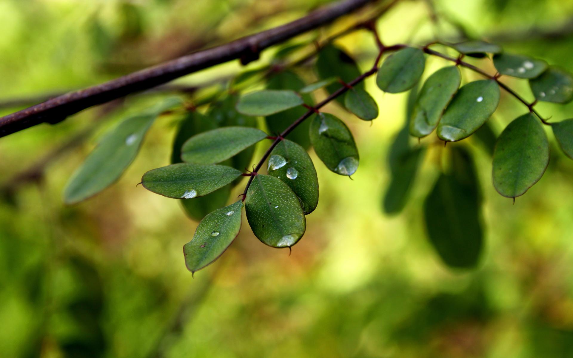 листья, листочки, Макро, ветки, вода, роса, капли
