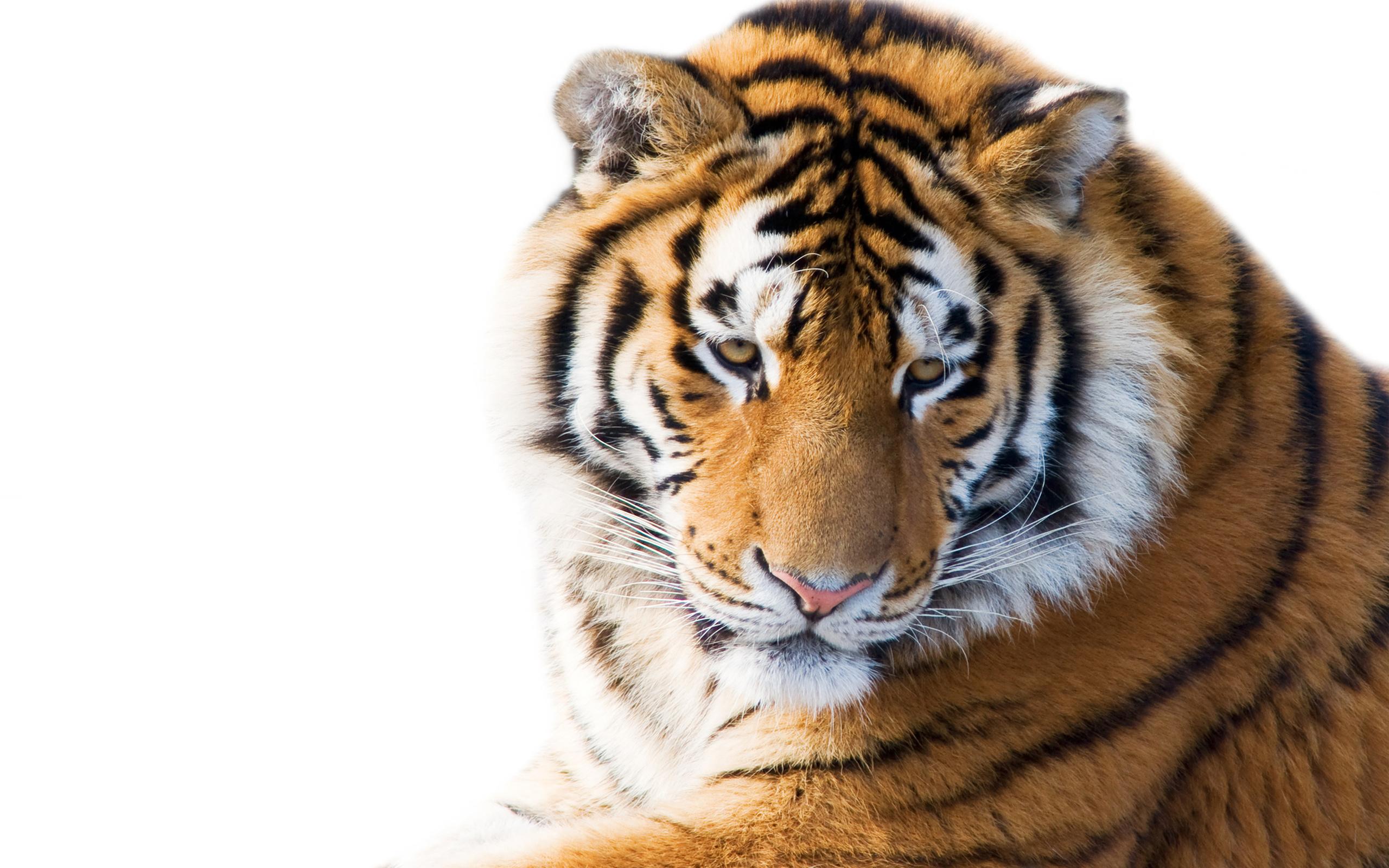 кошка, взгляд, белый фон, морда, тигр, Амурский тигр