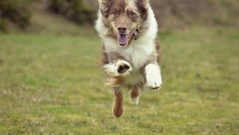 поле, Собака, бег