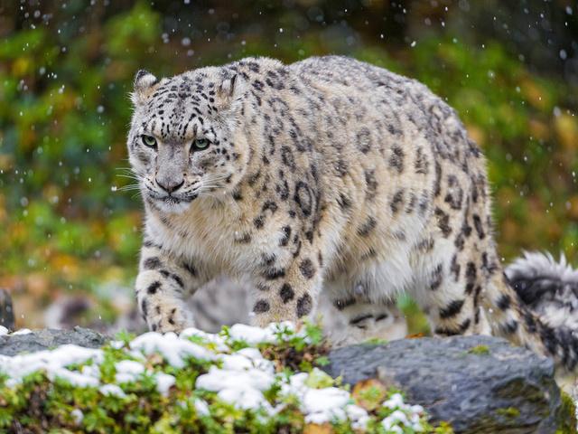 кошка, ирбис, Снежный барс, , хищник, снег
