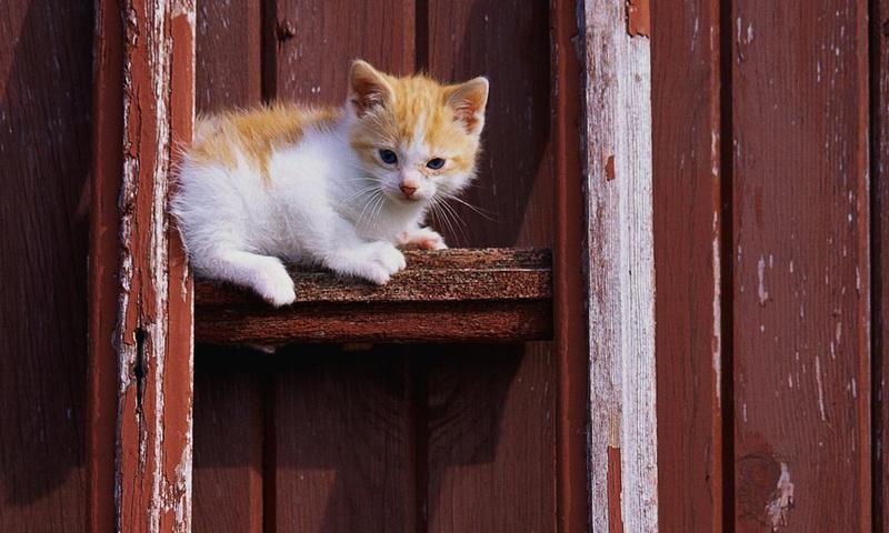 кошка, Cat, кот, белый, котенок, рыжий