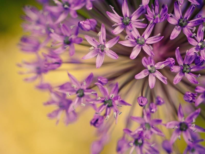 фиолетовый, цветочки, Макро, размытие, цветы, лепестки