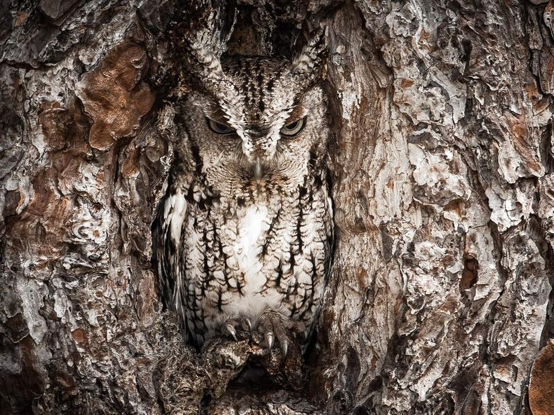 дерево, маскировка, , Сова