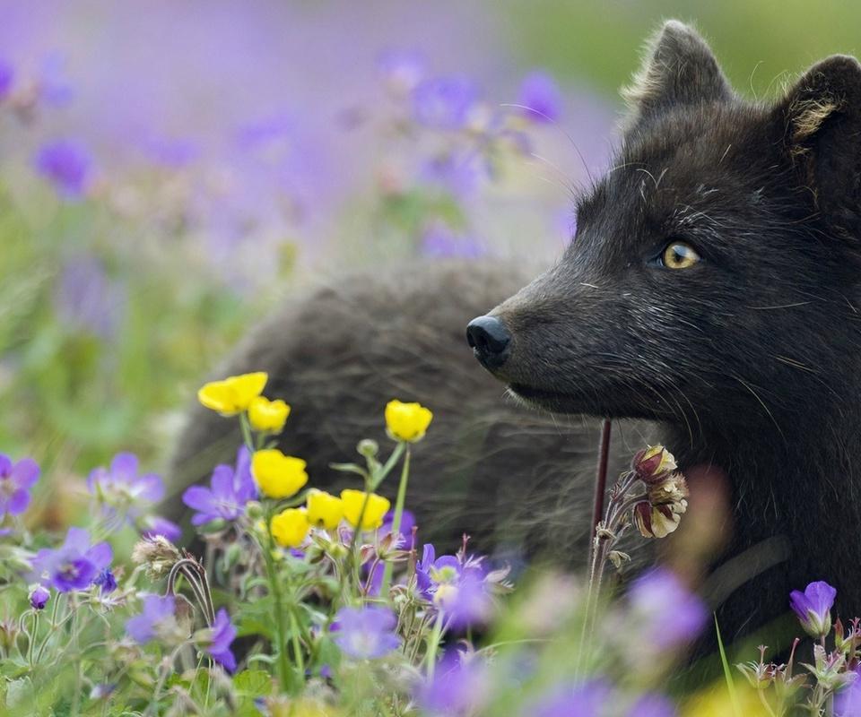 черная, арктическая лиса, Песец, растения, цветы, трава